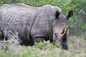 Square-lipped Rhinoceros