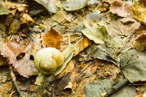 Crawling snail on yellow wet foliage. Snail in nature.