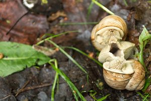 Mating of two snails. Reproduction of snails in nature.