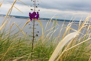 A beautiful field flower among dry grass. Purple flower. A lonely flower.