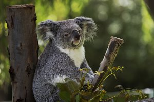 Koala between the branches
