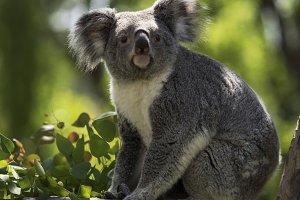 The Koala Look