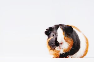 Cute Guinea pig on white background
