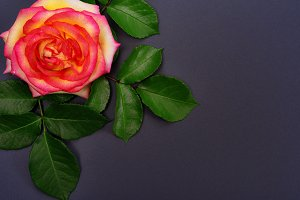 Bud of yellow rose