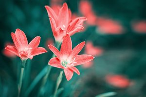 Rain Lily or Zephyranthes grandiflora flower
