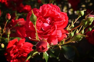 Beautiful roses for Valentine Day.