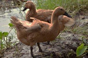 duck both