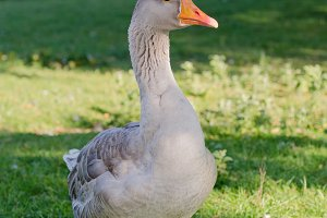 Wild goose in the park