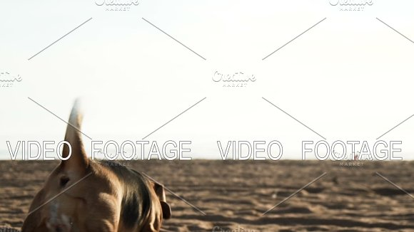 Active And Energetic Pet Dog Beagle Run Fast Play Lively With Ball During Sunset