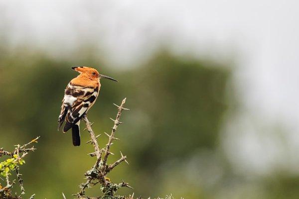 Hoopoe (Upupa africanis)