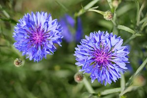 Blue cornflowers in garden top view