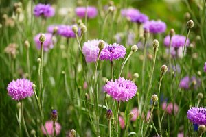 Purple cornflowers in garden