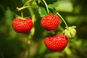 Ripe strawberries in garden