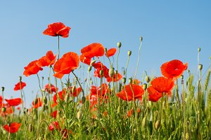 Red poppies on blue sky background