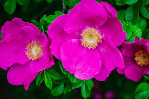 Blooming dog-rose in a summer park