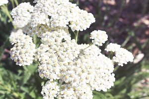 White Speckle Flowers