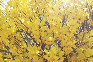 Forsythia Tree I