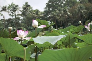 Pond with pink aquatic lily