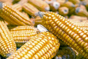 Close up image of yellow corn