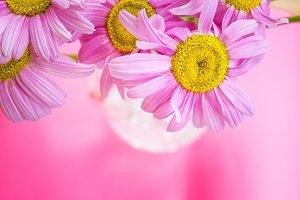 Colorful chamomiles