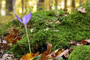 Crocus in a forest