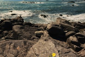Daffodil Flower Growing From Rock Overlooking Pacific Ocean