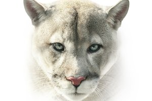 Puma face on white
