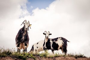 Goats Looking Down From A Cliff