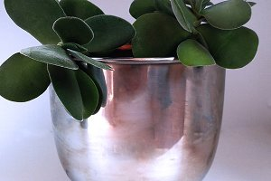 Succulent in a stainless steel pot