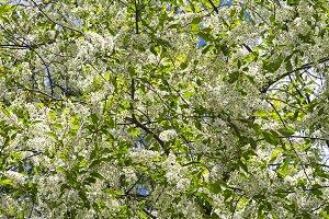 Blooming bird cherry