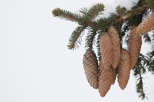 Tree with cones