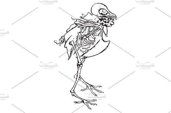 Pigeon Dove Bird Skeleton Vector