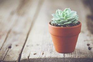 Echeveria succulent in flower pot