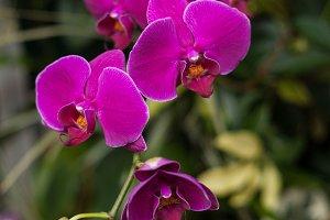 Fuchsia Orchids