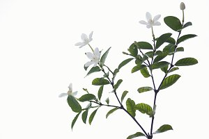 wrightia antidysenterica flowers isolated on white Background