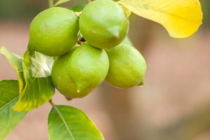 green citrons
