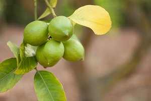 Fresh green citrons