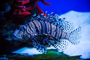 Tropical fish Lion fish