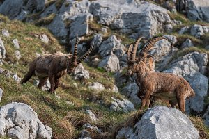 Alpine Ibex in the mountains