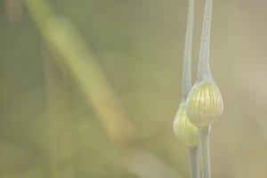 Allium flowers in bud