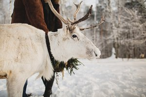 White Deer in the winter forest