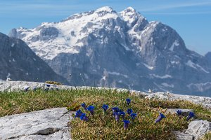 Mountain flowers in the Alps