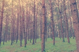 trunks of tall trees in pine forest