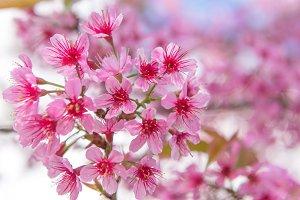 pink cherry or Thai sakura