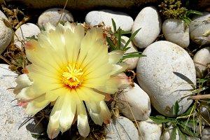 Cactus flower and stones