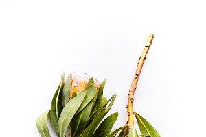 Protea Couple