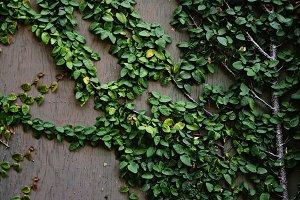 Leafy Vines