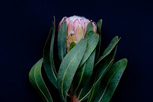 Protea on Black