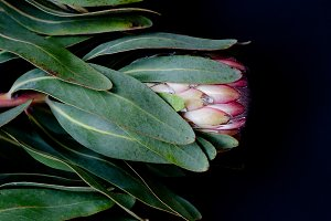 Protea Group on Black
