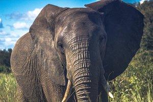 African Elephant on Safari
